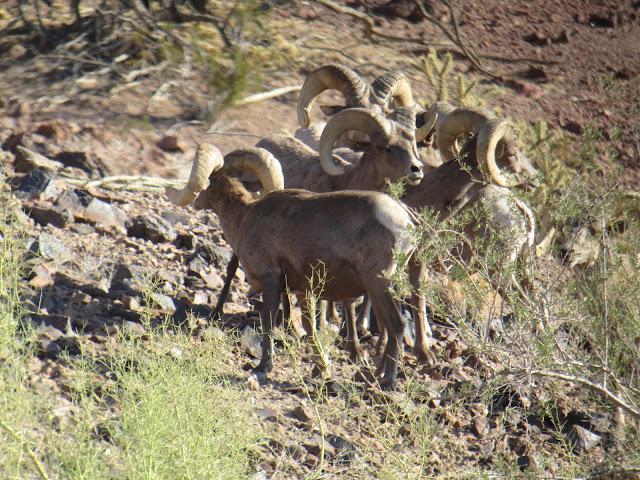 AZ+Desert+Bighorn+Sheep+Scouting+Pics+by+Colburn+and+Scott+Outfitters+7.JPG