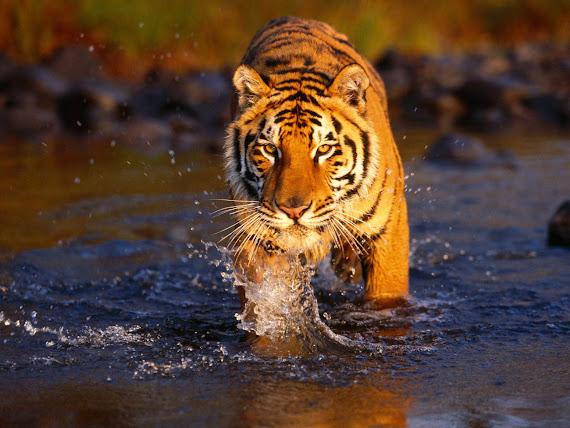 foto harimau terbesar - gambar hewan