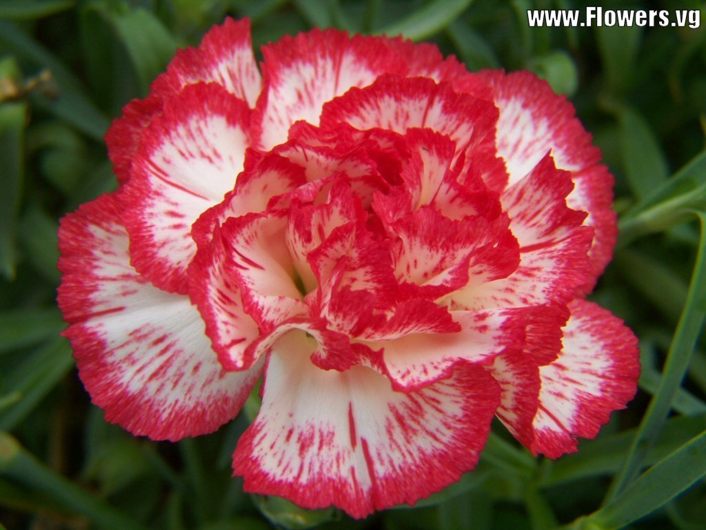 Picture A Carnation Flower Beautiful Flowers