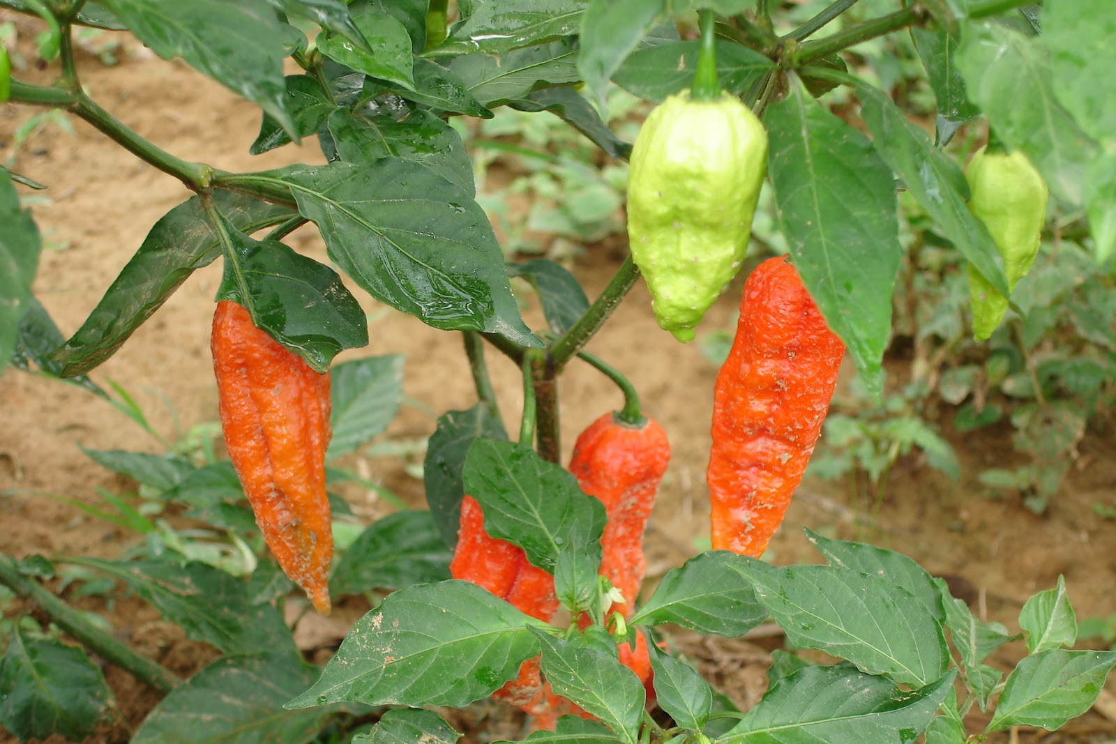how to help growth of chilli plant