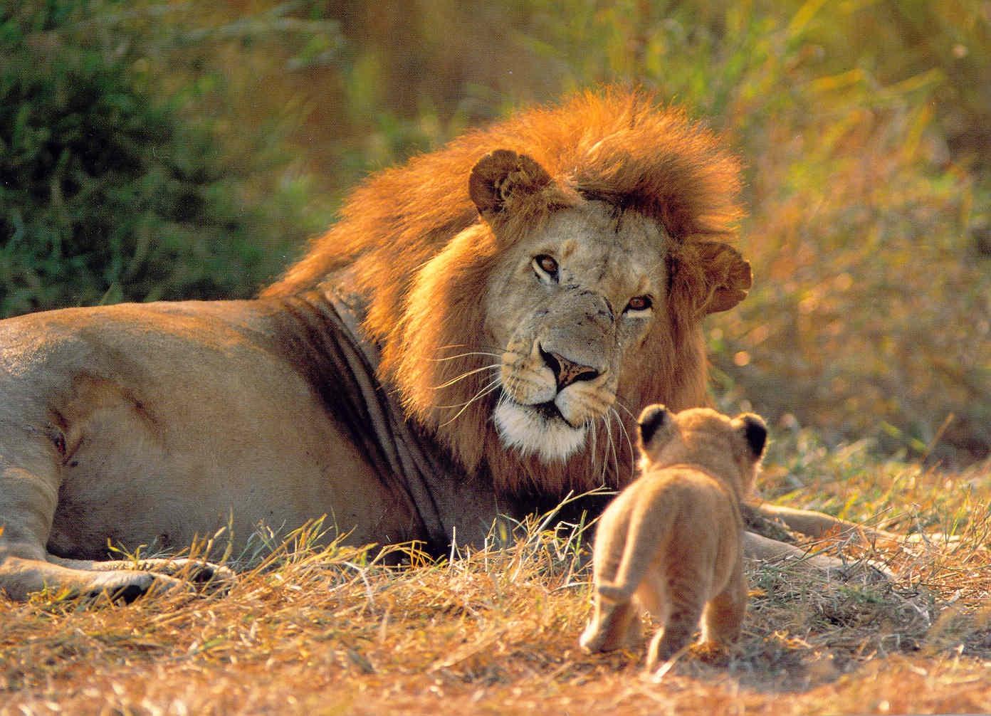 Imagenes de leones imagen leon descansando con su cria - Animales salvajes apareandose ...