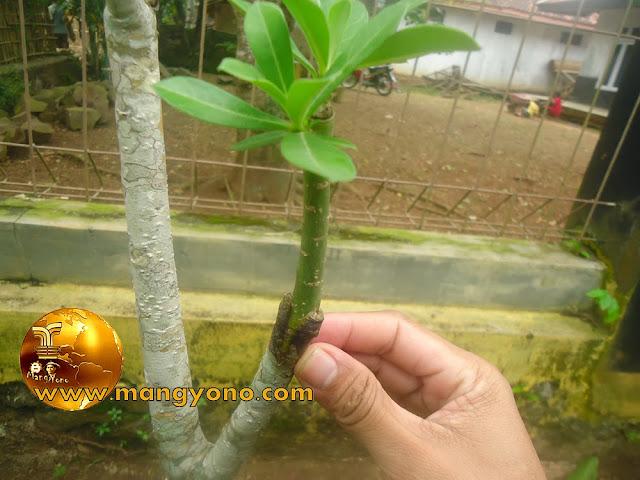 FOTO : Penyambungan tanaman Kamboja Jepang (Adenium) saya yang ditanam di tanah langsung. Kamboja Jepang (Adenium) batang bawah adalah Kamboja Jepang (Adenium) bunga merah, sedangkan batang atas Kamboja Jepang (Adenium) bunga putih.