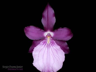 Orquídea Miltonia moreliana 'Colibri'