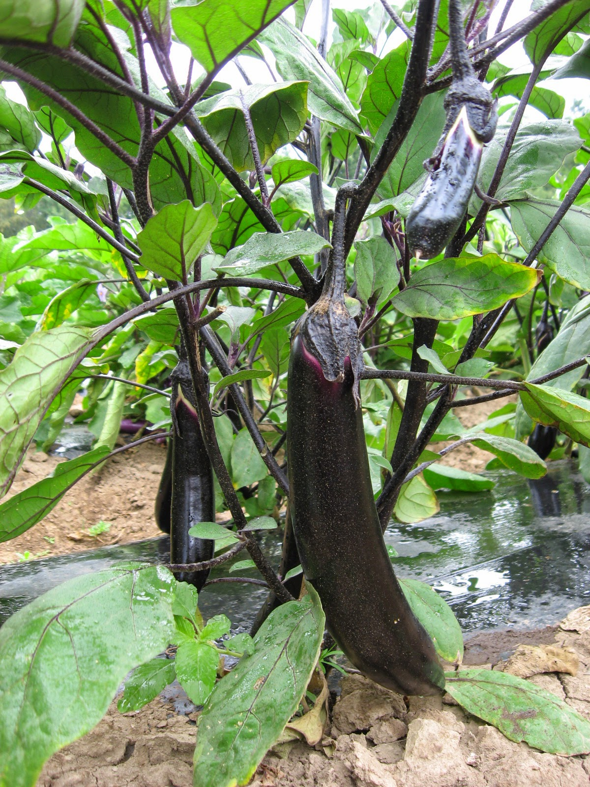 Japanese Eggplant on the vine