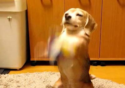 فيديو رائع لكلب صيد يحاول الإمساك بكرة