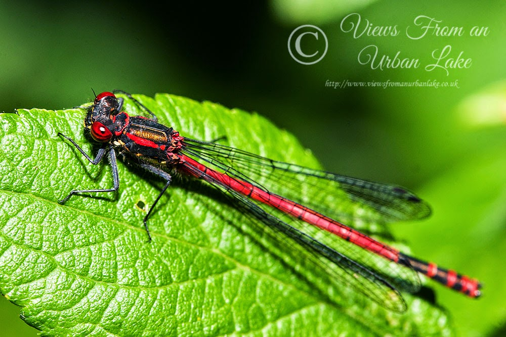 Large Red Damselfly - Lodge Lake, Milton Keynes