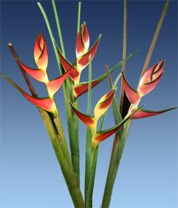 Great Heliconia Flower