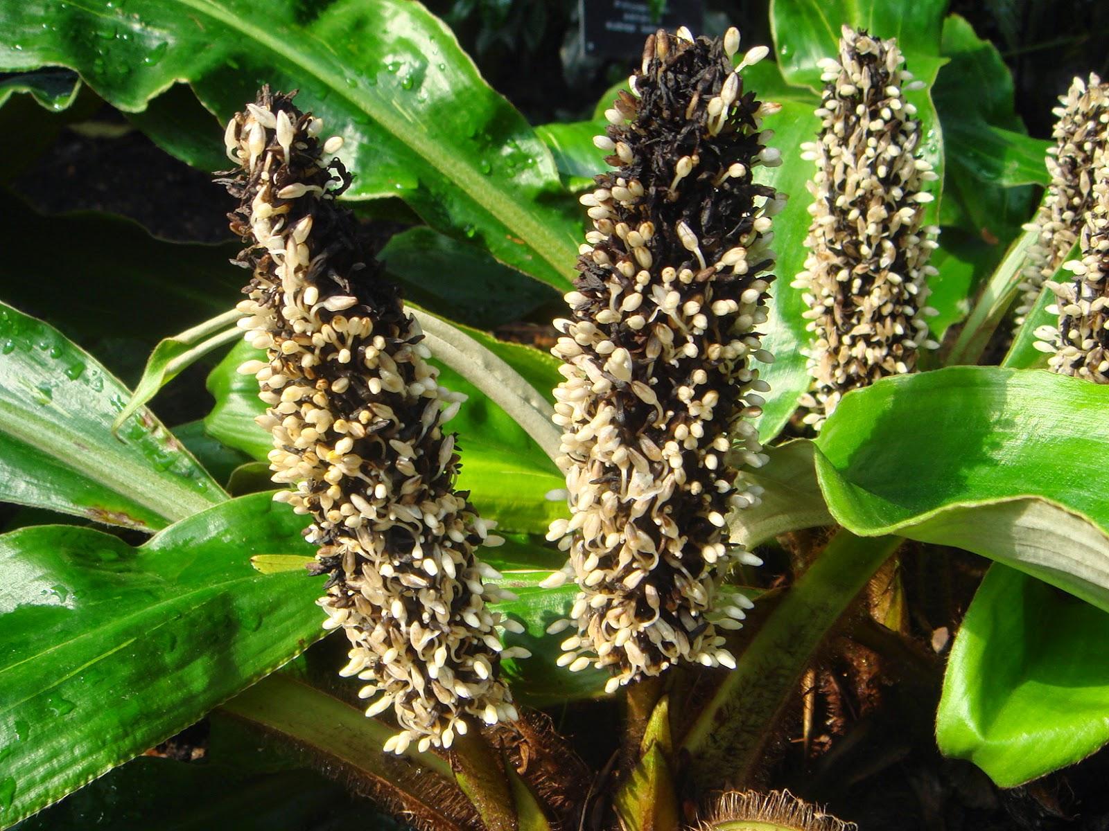 Хлорофитум Chlorophytum Описание виды и уход за