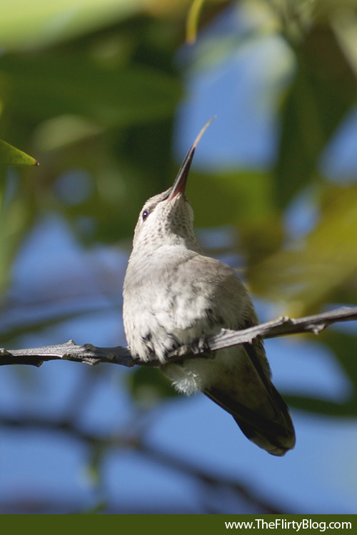 Hummingbird Chick Tongue