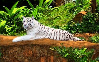 Tigre blanco de Siberia - Siberian tiger - Big felino - Animales