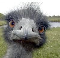 Ostrich - Autruche - Avestruz