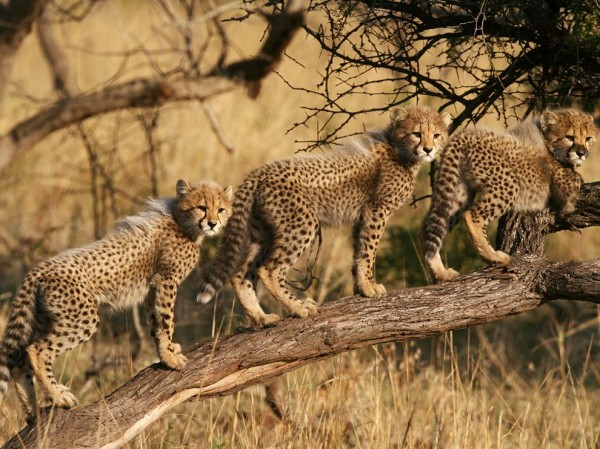 Cheetah Cubs, South Africa