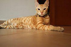 gambar kucing arabian mau