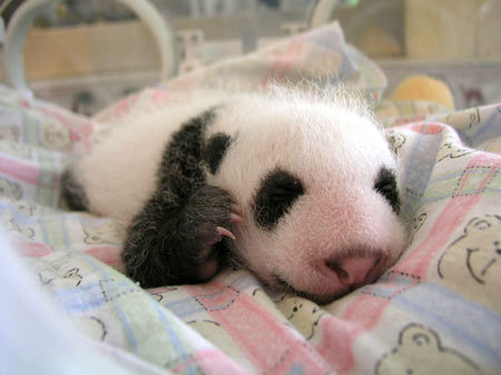 baby animals, cute animals, baby panda