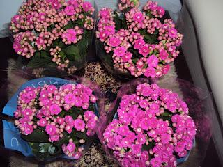 flor calandiva