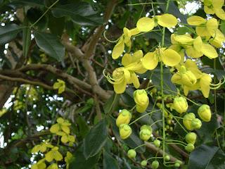 Trengguli (Cassia fistula)