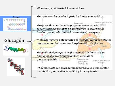 Coniecturalem Artem Esse Medicinam: Páncreas: función