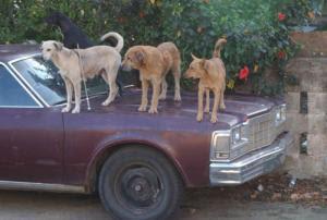 smiješne slike Psi na automobilu