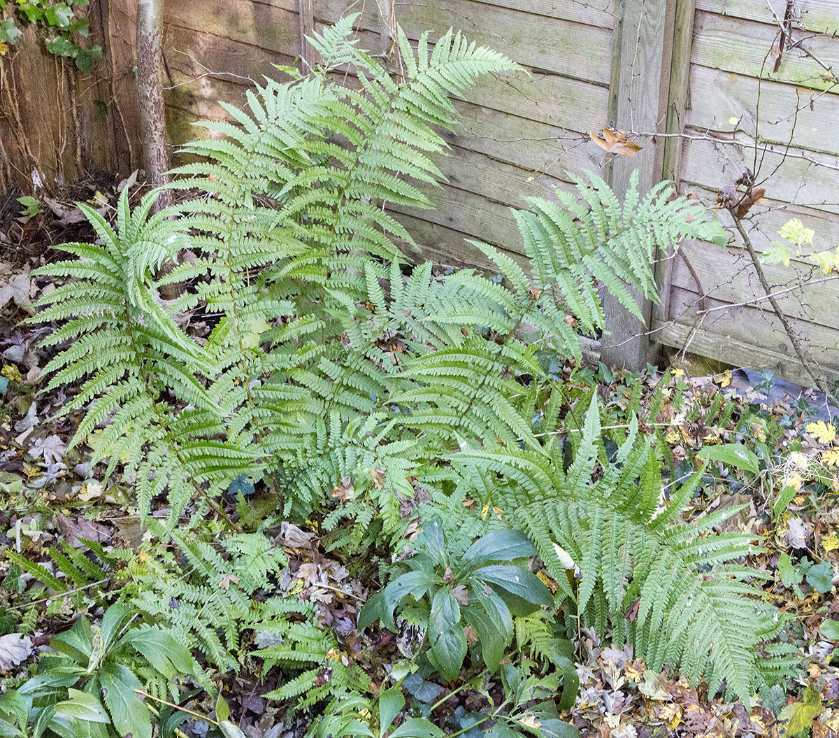 Male Fern, Drypoteris filix-mas.  In my garden in Hayes, 5 December 2013.