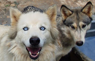wolf,wolves,gray wolf,gray wolves,wild wolves,american wolves
