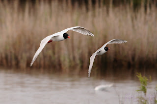 Gaviota cabecinegra (Larus melanocephalus - Mediterranean gull)