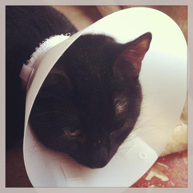 Castración de un Gato Macho