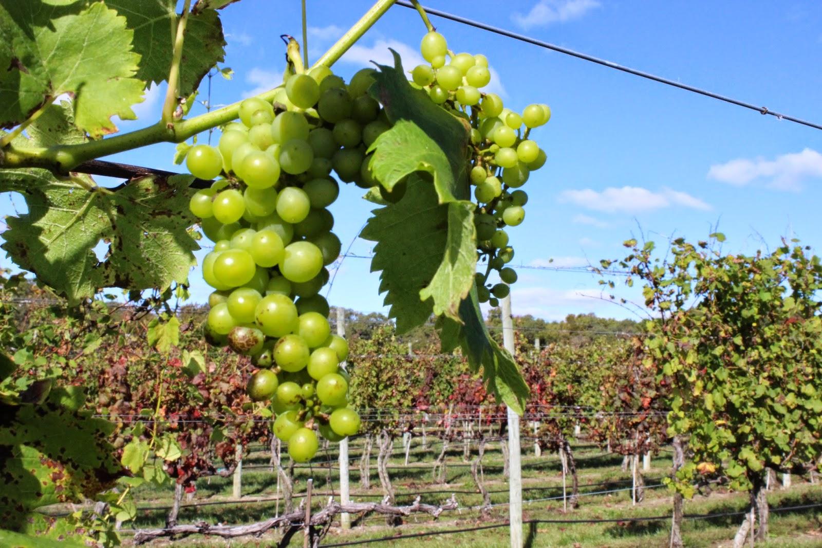 cape may wine trail - Natali Vineyards