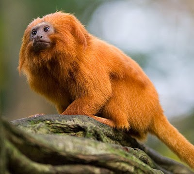 an analysis of the golden marmosets leontopithecus chrusomelas