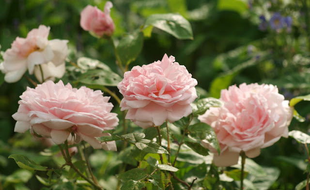 Rose Eglantyne - Austtinrose