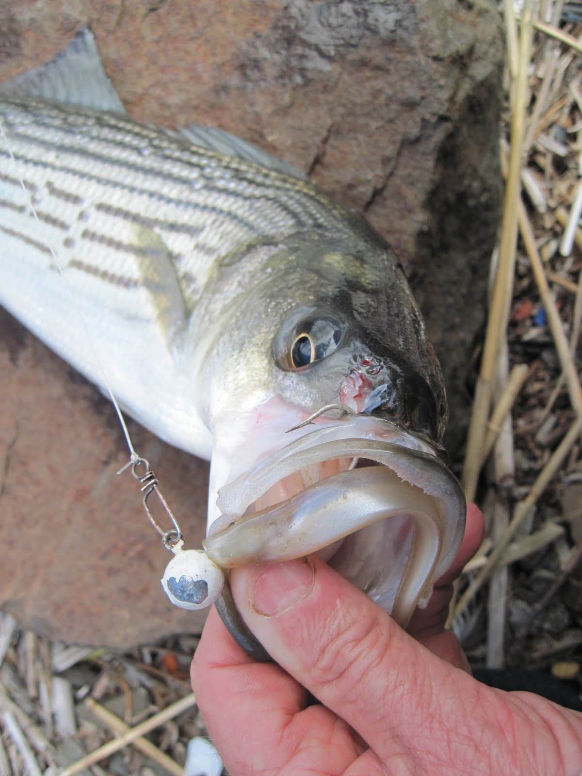 Rhode island striped bass fish spreading out for Best striper fishing spot in ri