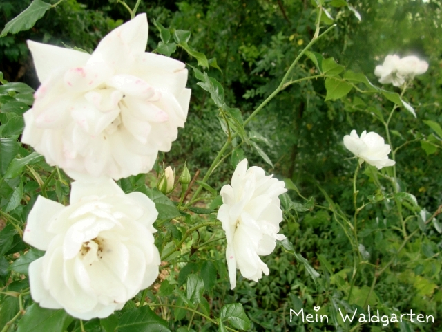 mein waldgarten hommage an eine wei e rose. Black Bedroom Furniture Sets. Home Design Ideas