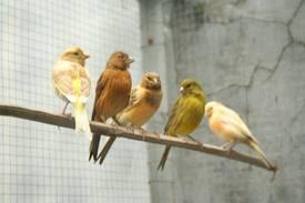 Penjodohan burung kenari
