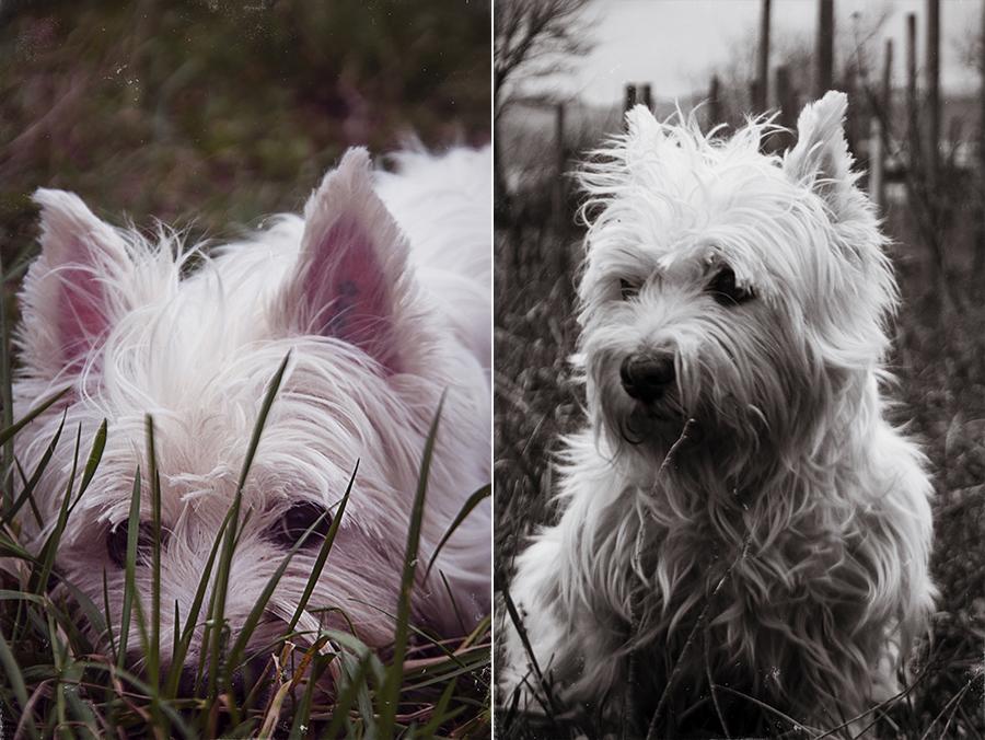 Leos westie west highland terrier in grass cute white dog