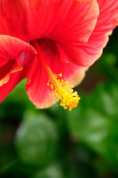 bunga raya hibiscus