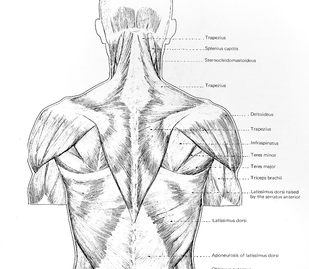 Figure Drawing and Anatomy: Neck and Shoulder Girdle