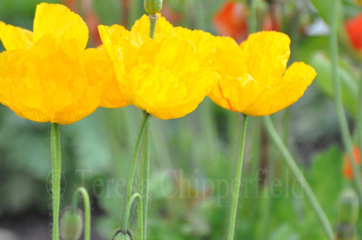 Poppy place pdx flowers in san diego yellow poppies mightylinksfo