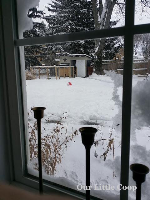 backyard chicken coop, snow, christmas, chickens, winter