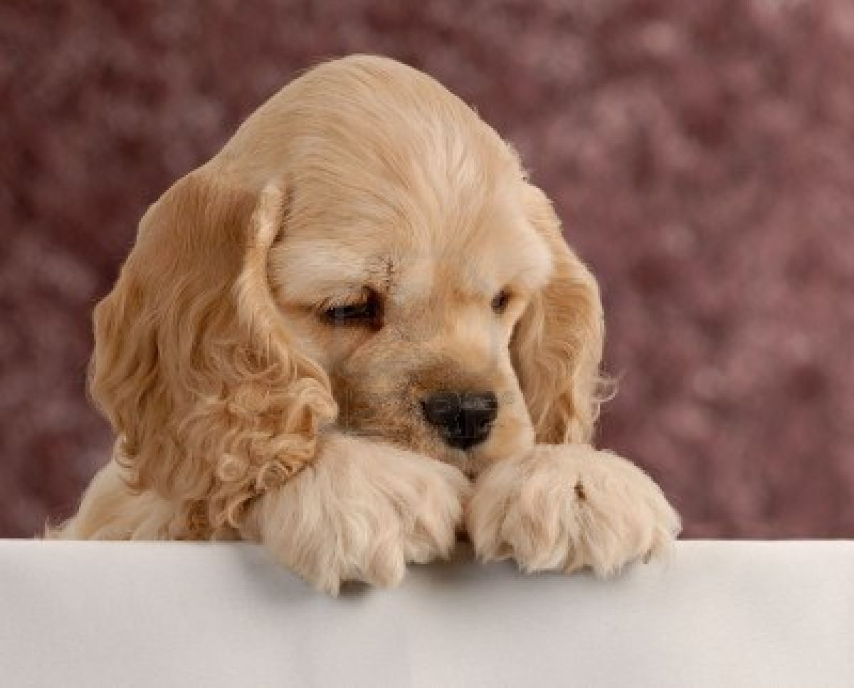 Cute Puppy Dogs: cocker spaniel puppies