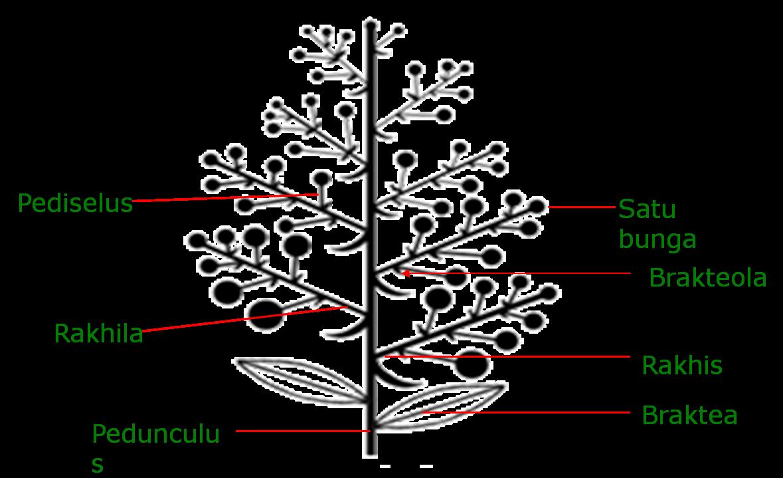 Struktur dan perkembangan tumbuhan 1 angyospermae dicotyledonae struktur inflorescentia ccuart Choice Image
