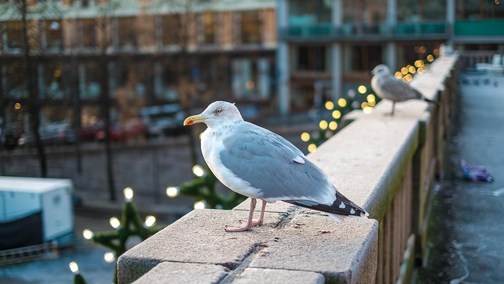 Чайки в Осло