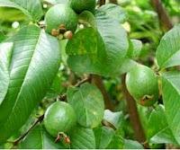 Ramuan Herbal Untuk Penyakit Diare
