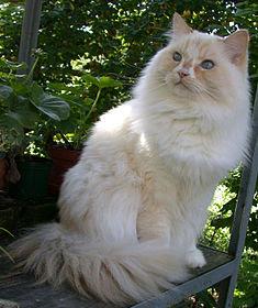 Foto Kucing Ragamuffin