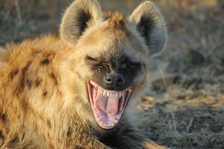 Hyena Hiena manchada Crocuta crocuta