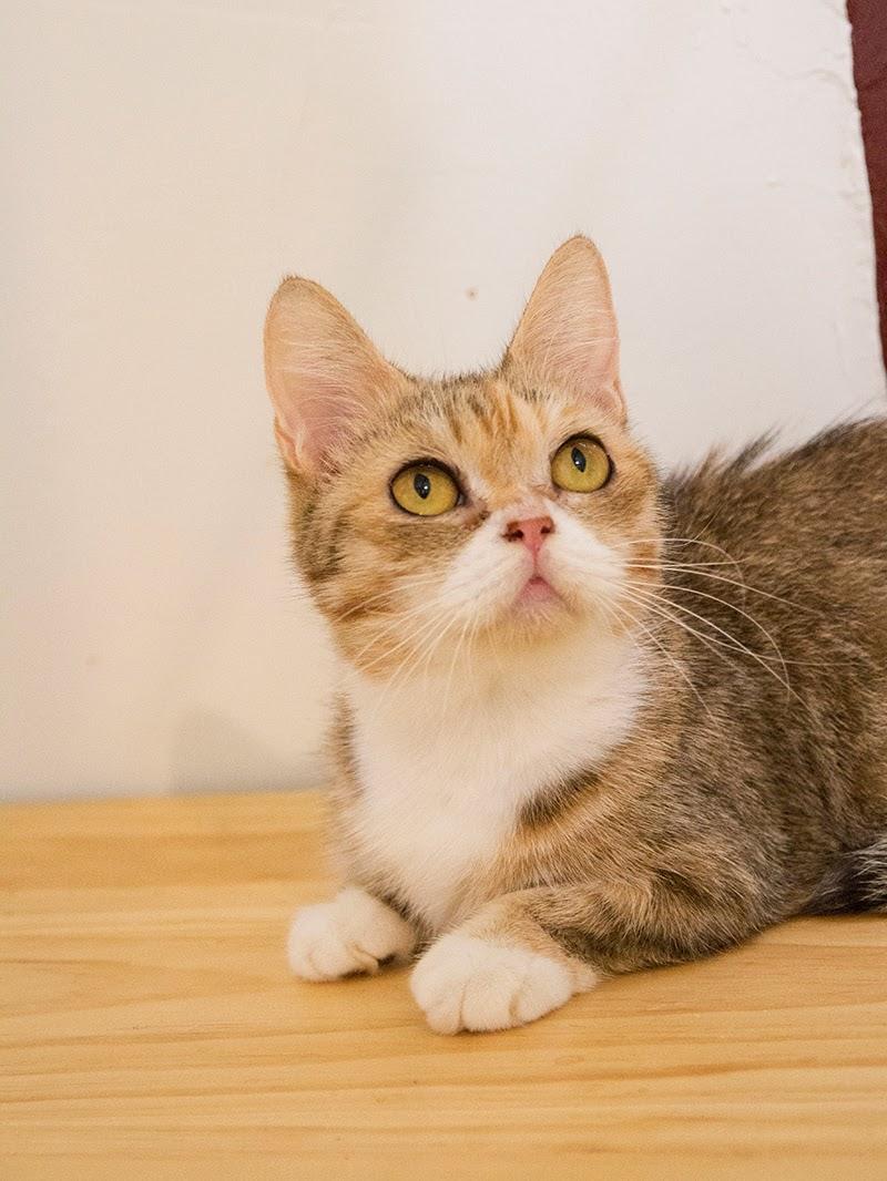 待送養貓咪:小黃
