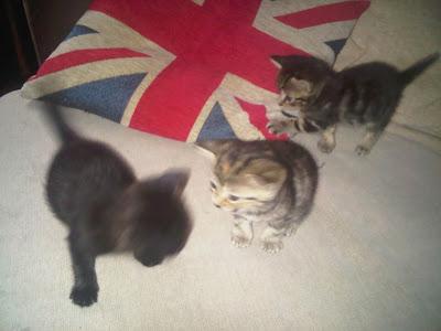 Jubilee kittens