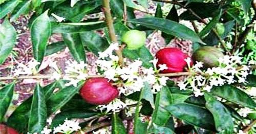 quiltmum manfaat buah mahkota dewa untuk kesehatan