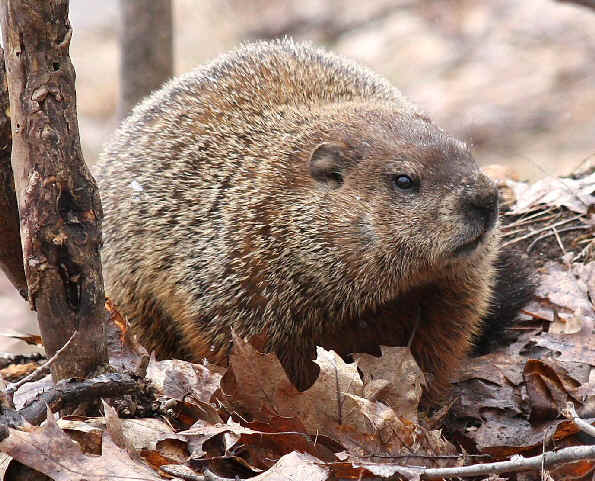 Geico Woodchuck Commercial Really Funny Wood Chucks Chucking Wood