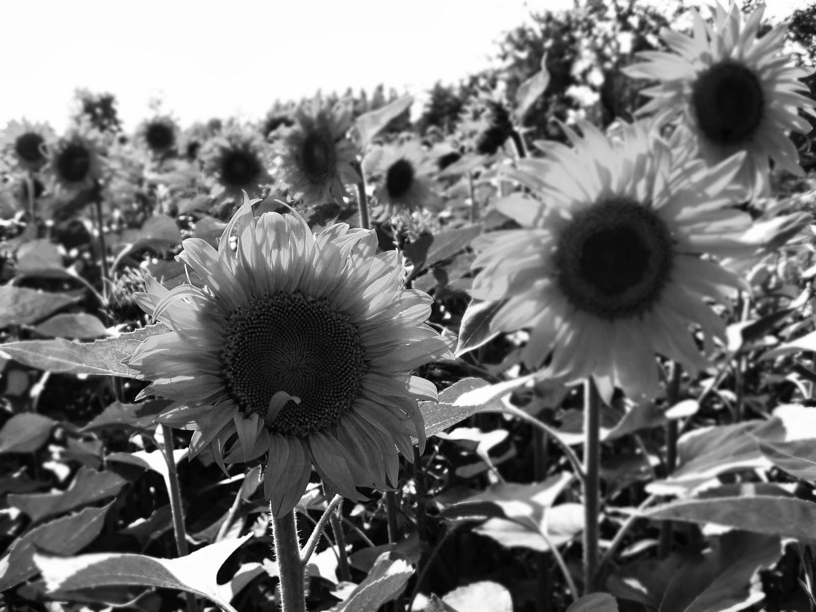 Gambar Bunga Matahari hitam Putih IV