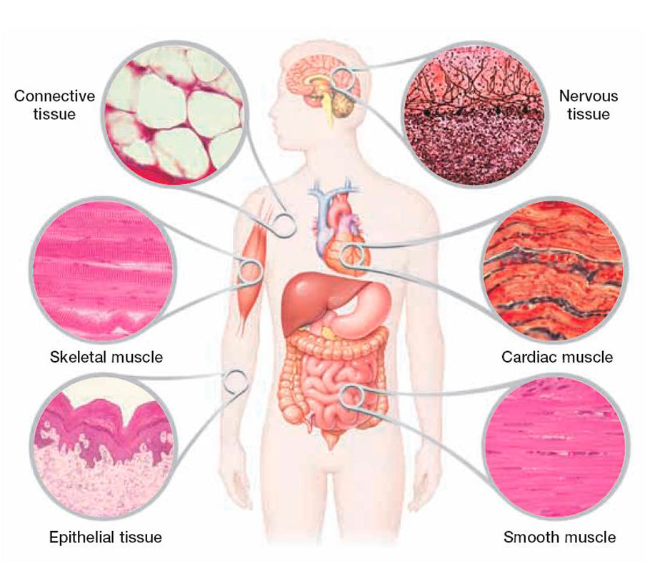 essay on cells of the human body Read this essay on systems of the human body come browse our large digital warehouse of free sample essays  the human body cellswhat is the function of .