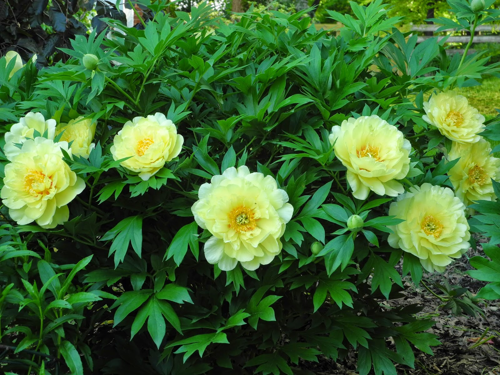 The Phytophactor Friday Fabulous Flower Another Yellow Peony